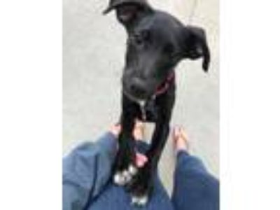 Adopt Aiden a Black - with White Labrador Retriever dog in Durham, NC (25225815)