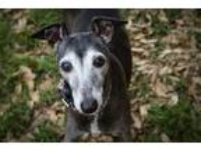 Adopt Luigi- Houston area a Italian Greyhound