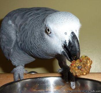 Fertile parrot eggs and grew parrots babies for sale