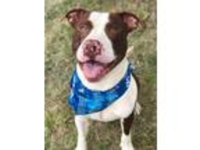 Adopt HULK a Brown/Chocolate - with White Pit Bull Terrier / Mixed dog in Pilot