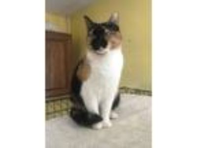 Adopt Kia a Calico or Dilute Calico Calico / Mixed (short coat) cat in Devon