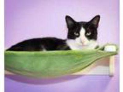 Adopt Gandolf a All Black Domestic Shorthair / Domestic Shorthair / Mixed cat in