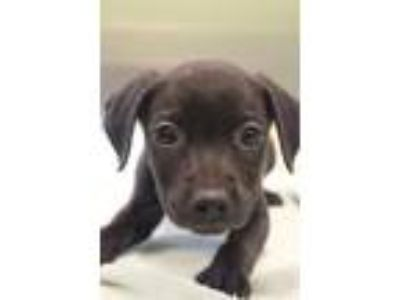 Adopt Joey a Pit Bull Terrier, Mixed Breed