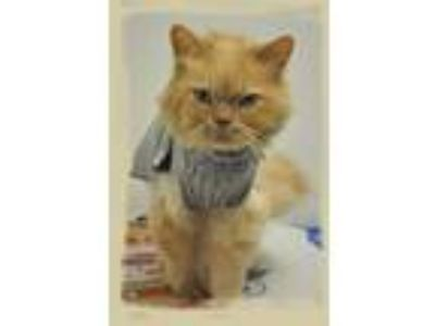 Adopt Fluffy and Kitty a Persian, Domestic Short Hair