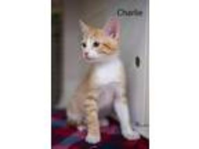 Adopt Charlie 19-0110 a Orange or Red (Mostly) Domestic Shorthair / Mixed (short