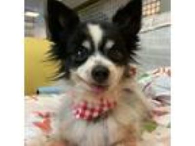 Adopt Mr. Chips--WATCH MY VIDEO! a Tricolor (Tan/Brown & Black & White) Papillon