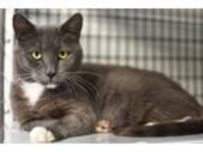 Adopt Darling a Russian Blue / Mixed (short coat) cat in Lawrenceville