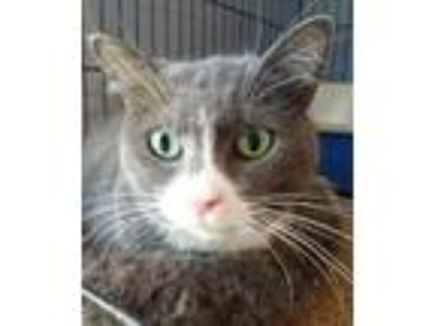 Adopt Carley a Domestic Short Hair