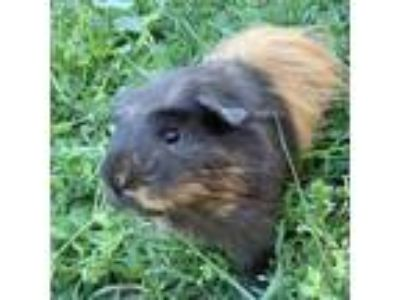 Adopt Gizmo a Brown or Chocolate Guinea Pig / Mixed small animal in Washington