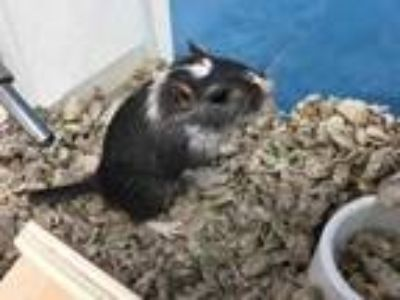 Adopt Squishy a Black Gerbil / Mixed small animal in St. Paul, MN (25866136)