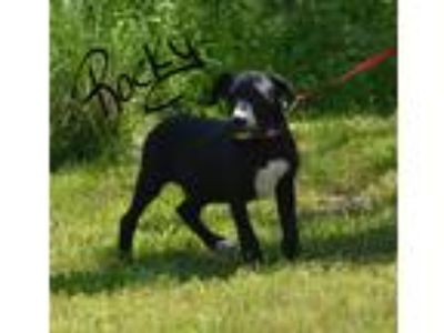 Adopt Rocky a Black - with White Labrador Retriever / Mixed dog in Lebanon