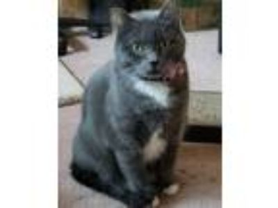 Adopt Smokey a Domestic Short Hair