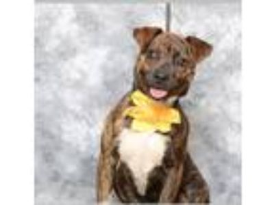 Adopt Ellie a Brindle Rat Terrier / Plott Hound / Mixed dog in Pittsboro