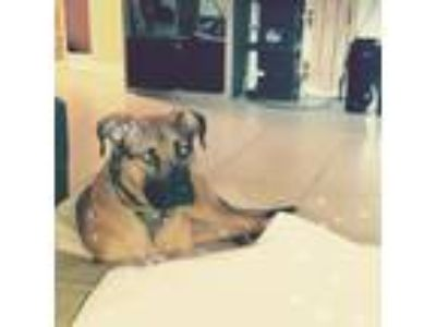 Adopt Buddy a Tricolor (Tan/Brown & Black & White) Belgian Malinois / American