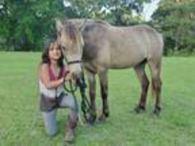 Adorable Almost Bombproof Buckskin Small Welsh Pony Gelding