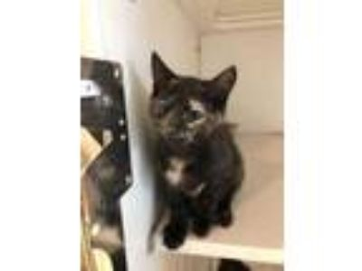 Adopt Neytiri a All Black Domestic Shorthair / Domestic Shorthair / Mixed cat in