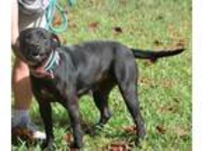 Adopt Beth a Bullmastiff / Mixed dog in Whiteville, NC (25533035)