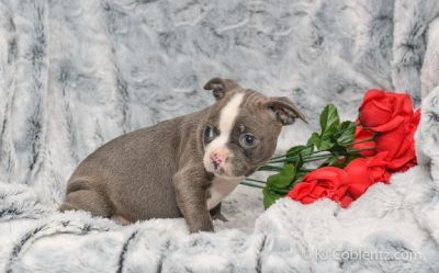 Brittney Female Boston Terrier AKC