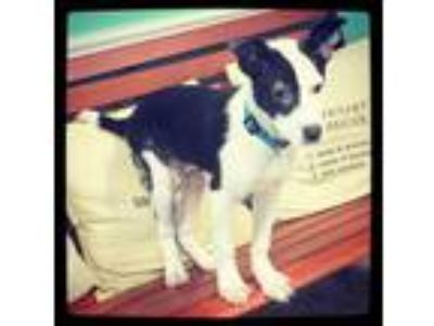 Adopt Kyro a Border Collie