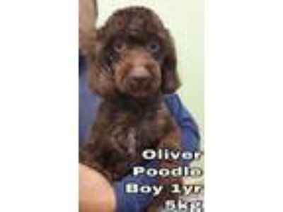 Adopt Oliver from Korea a Poodle