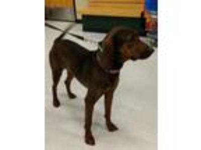 Adopt Gracie May a Brown/Chocolate - with Black Plott Hound / Mixed dog in