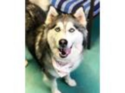 Adopt Donna a Black - with White Husky / Mixed dog in Guthrie, OK (21814484)