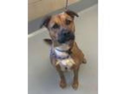 Adopt Air Bud a Brown/Chocolate - with White Mixed Breed (Medium) / Mixed dog in