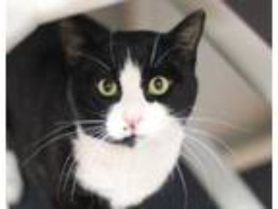 Adopt Ross a Domestic Short Hair