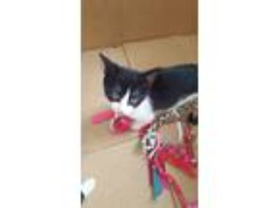 Adopt Kitten a Black & White or Tuxedo American Shorthair cat in Marietta