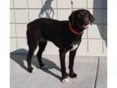 Adopt Buck a Pointer, Labrador Retriever