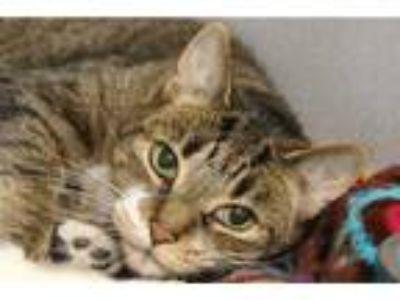 Adopt MURPHY a Brown Tabby Domestic Shorthair / Mixed (short coat) cat in