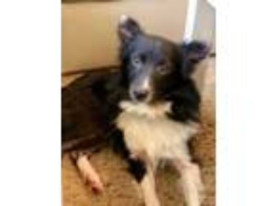 Adopt 42154391 a Border Collie, Mixed Breed