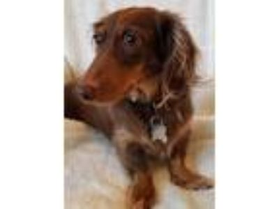 Adopt Mocha a Brown/Chocolate - with Tan Dachshund / Mixed dog in Orangeburg