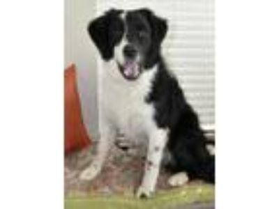 Adopt Buddy Cave a Black Border Collie / Mixed dog in Chester Springs