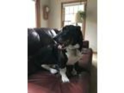 Adopt Baxter a Black - with White Basset Hound / Labrador Retriever / Mixed dog