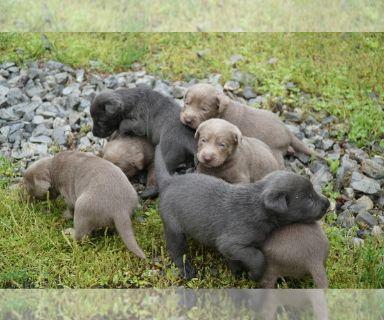 Labrador Retriever PUPPY FOR SALE ADN-127292 - Silver and Charcoal Labrador Retriever Puppies