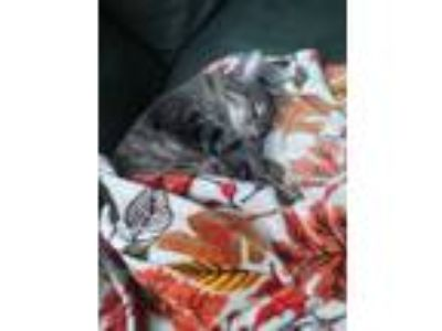 Adopt Strider a Tiger Striped Domestic Shorthair / Mixed cat in Kansas City