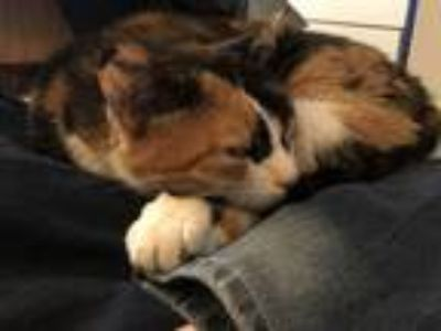 Adopt Snickers a Calico or Dilute Calico Calico / Mixed cat in Calhan