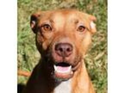 Adopt Queens + a Red/Golden/Orange/Chestnut American Pit Bull Terrier / Mixed