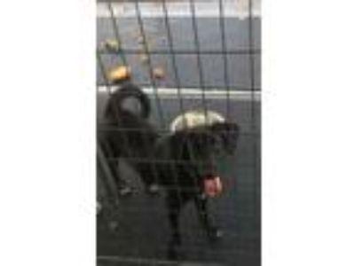 Adopt jett a Labrador Retriever