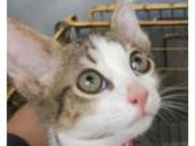 Adopt KITTY TWO a Domestic Short Hair