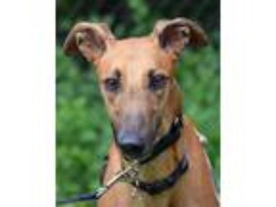 Adopt Ruby a Greyhound
