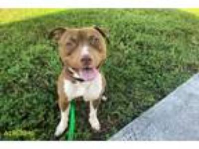 Adopt CHOCOLATE a Pit Bull Terrier, Mixed Breed