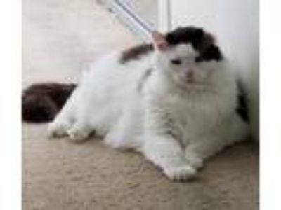 Adopt MURPHY - Offered by Owner - Ragdoll mix a White (Mostly) Ragdoll / Mixed