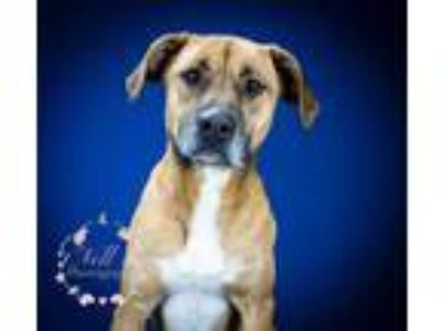 Adopt Houston - 010801M a Tan/Yellow/Fawn Boxer / Labrador Retriever / Mixed dog
