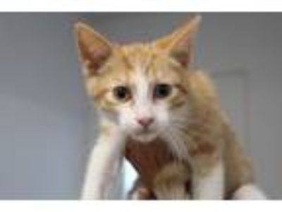 Adopt Peter a Orange or Red Tabby Domestic Shorthair (short coat) cat in Reeds