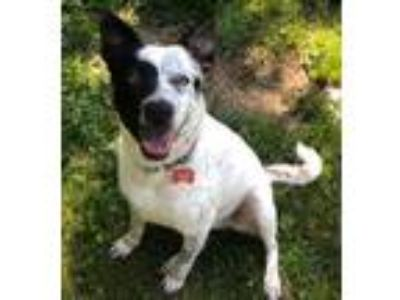 Adopt Pepper a Cattle Dog / Mixed dog in Potomac, MD (25659815)