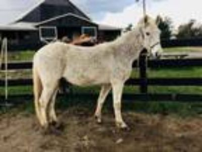 Adopt Chief-companion horse a Gaited