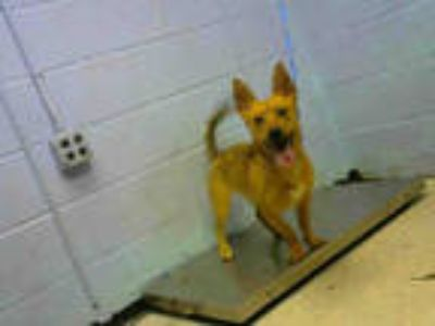 Adopt BUCK a Tan/Yellow/Fawn - with Black American Pit Bull Terrier / Mixed dog