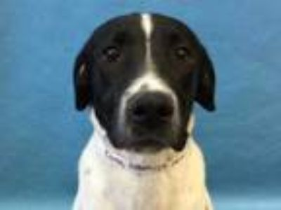 Adopt Donny a Black Labrador Retriever / Mixed dog in Woodbury, MN (25285758)